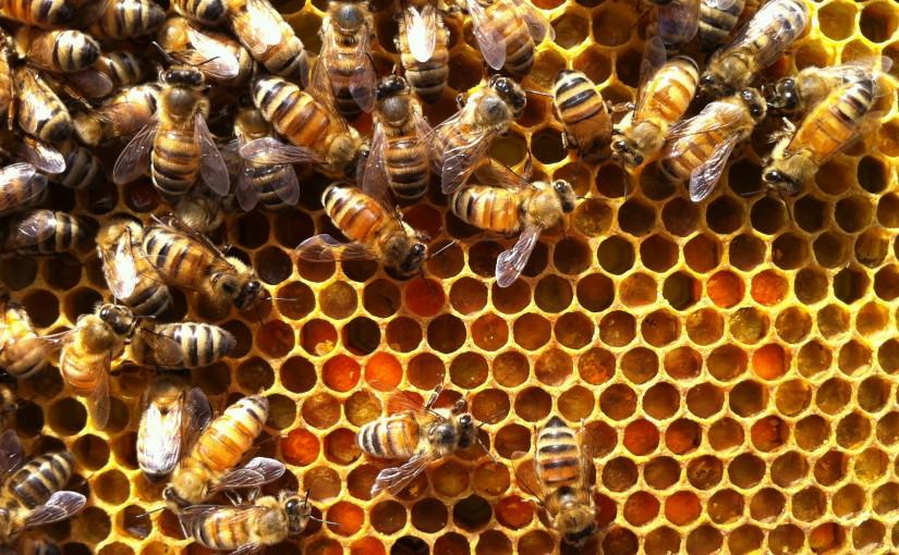 pollen source de proteine